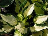 Уличная флора-hosta__morning_l_4ae1c8533750a.jpg