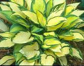 Уличная флора-hosta__orange_ma_4ae1a160675d1.jpg